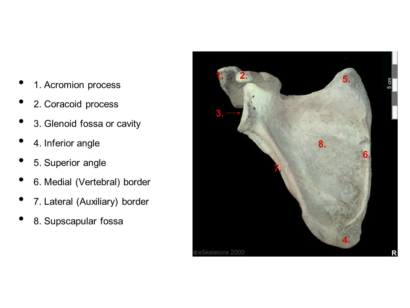 1. Acromion process 2. Coracoid process. 3. Glenoid fossa or cavity. 4. Inferior angle. 5. Superior angle.