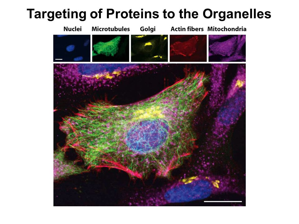 Targeting of Proteins to the Organelles