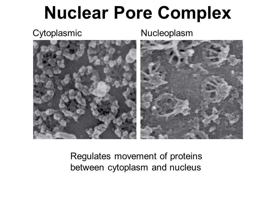 Nuclear Pore Complex Cytoplasmic Nucleoplasm