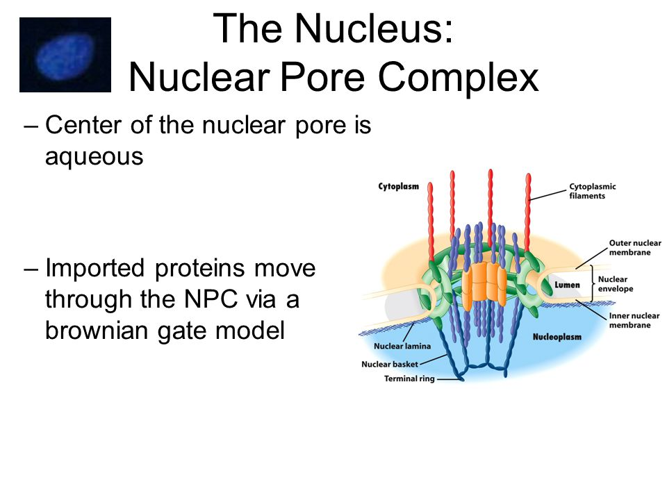 The Nucleus: Nuclear Pore Complex