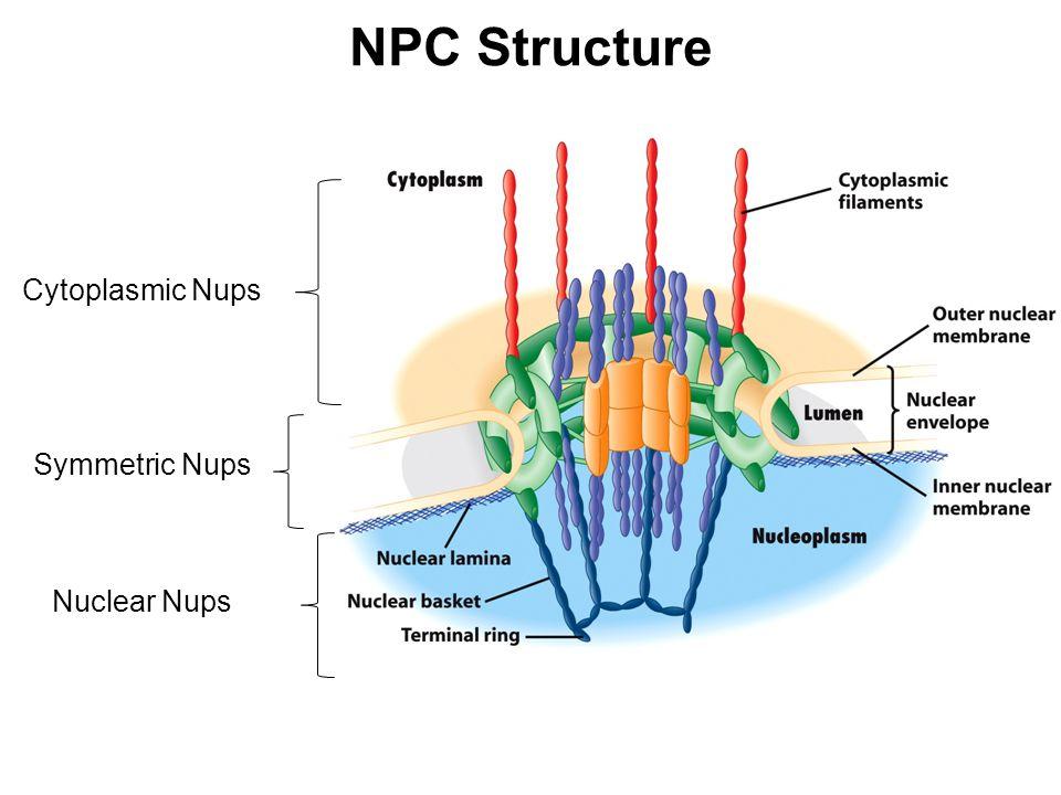 NPC Structure Cytoplasmic Nups Symmetric Nups Nuclear Nups