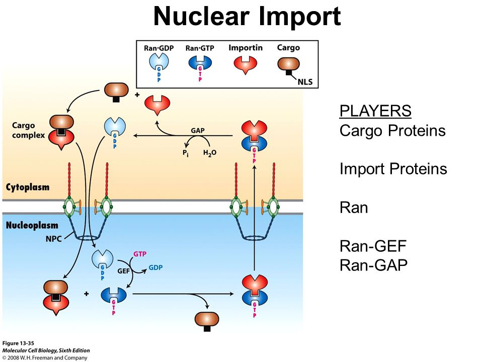 Nuclear Import PLAYERS Cargo Proteins Import Proteins Ran Ran-GEF