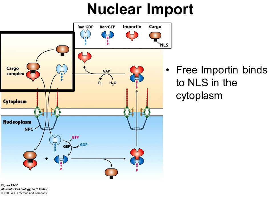 Nuclear Import Free Importin binds to NLS in the cytoplasm