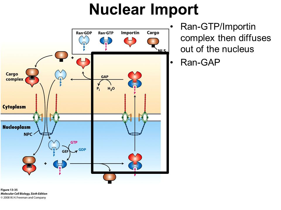 Nuclear Import Ran-GTP/Importin complex then diffuses out of the nucleus Ran-GAP