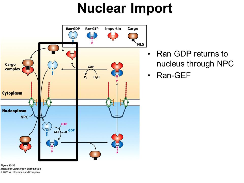 Nuclear Import Ran GDP returns to nucleus through NPC Ran-GEF