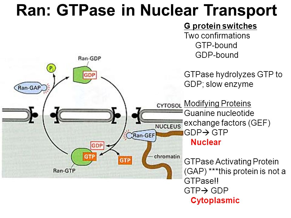 Ran: GTPase in Nuclear Transport