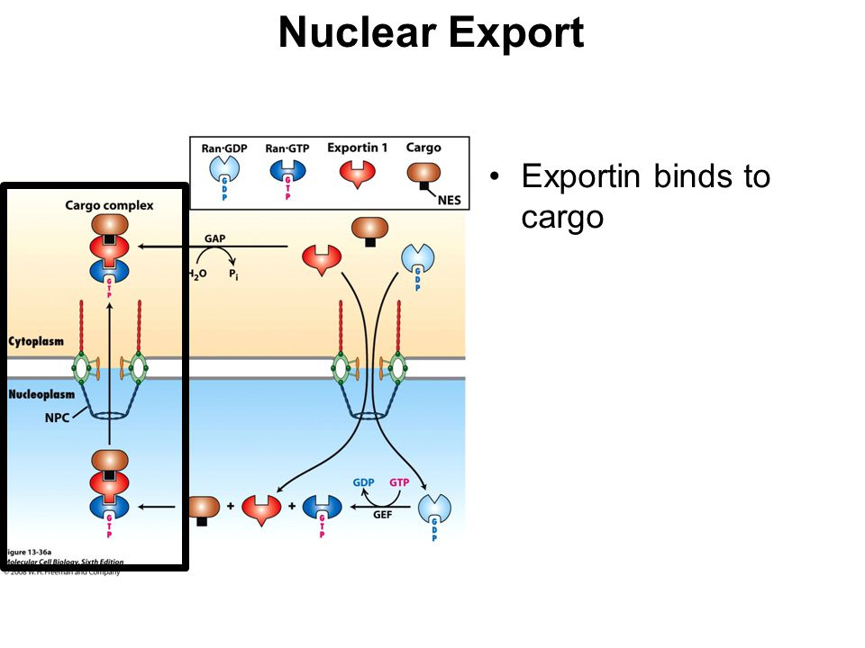 Nuclear Export Exportin binds to cargo