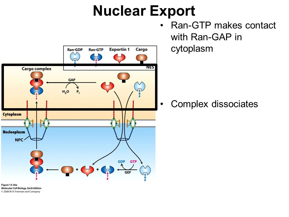 Nuclear Export Ran-GTP makes contact with Ran-GAP in cytoplasm
