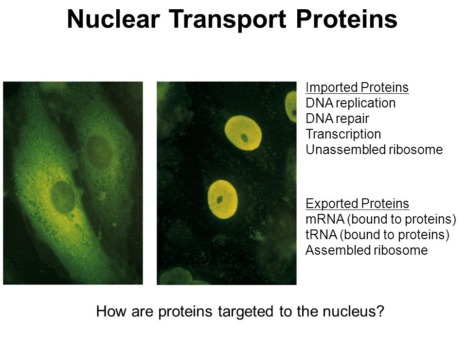 How are proteins targeted to the nucleus