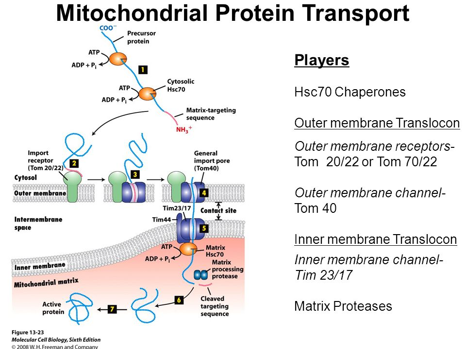 Mitochondrial Protein Transport