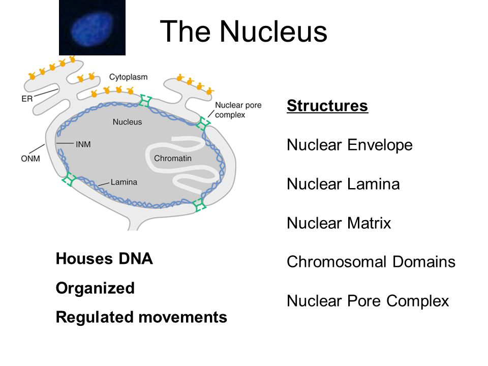 The Nucleus Structures Nuclear Envelope Nuclear Lamina Nuclear Matrix