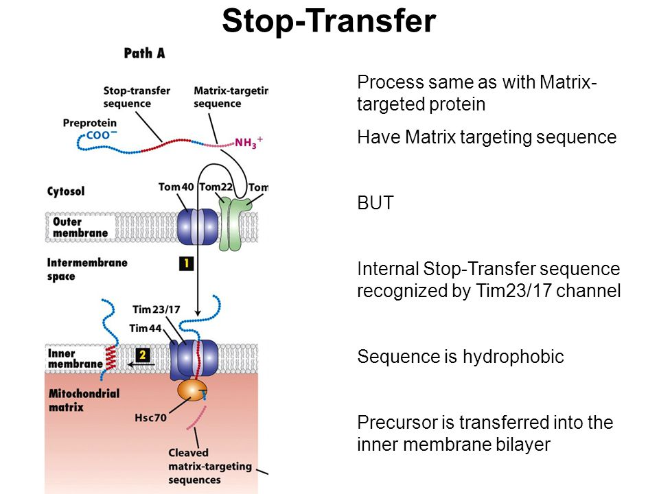 Stop-Transfer Process same as with Matrix-targeted protein