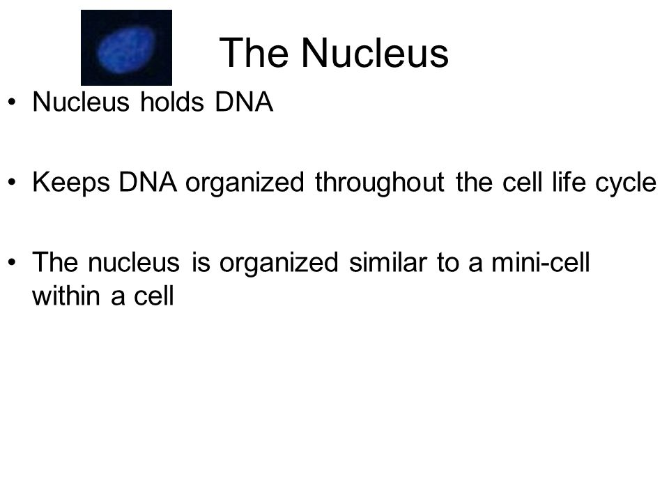 The Nucleus Nucleus holds DNA