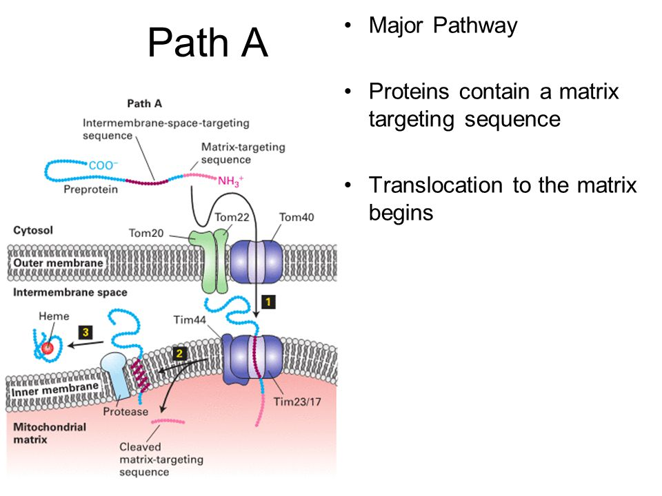 Path A Major Pathway Proteins contain a matrix targeting sequence