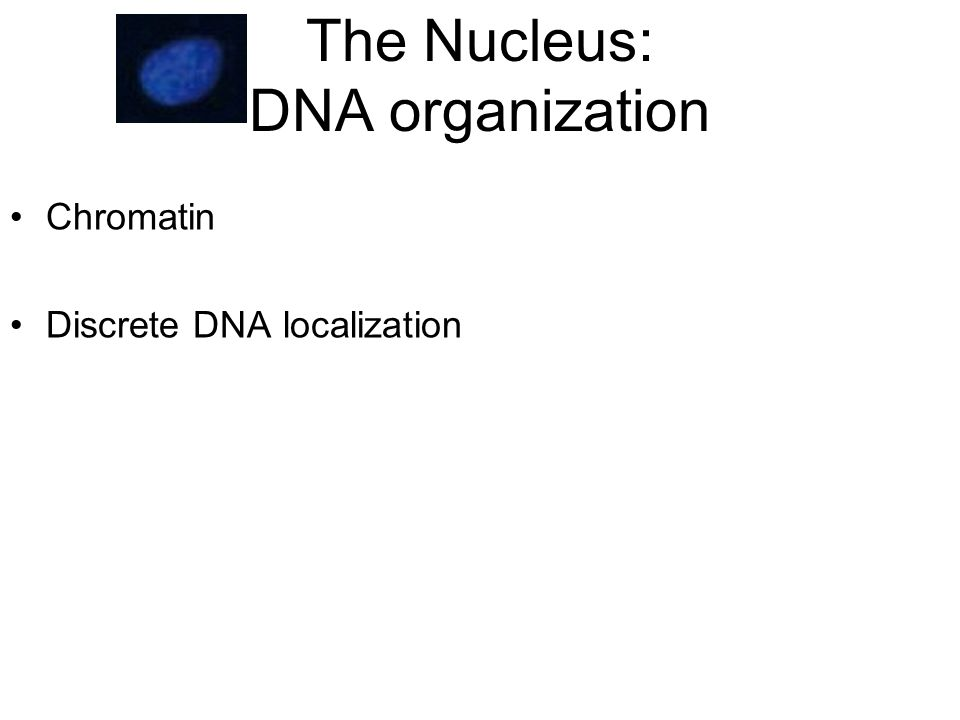The Nucleus: DNA organization Chromatin Discrete DNA localization