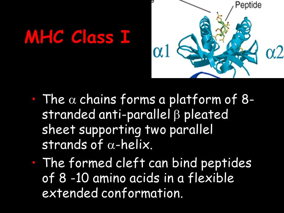 MHC Class I The a chains forms a platform of 8-stranded anti-parallel b pleated sheet supporting two parallel strands of a-helix.