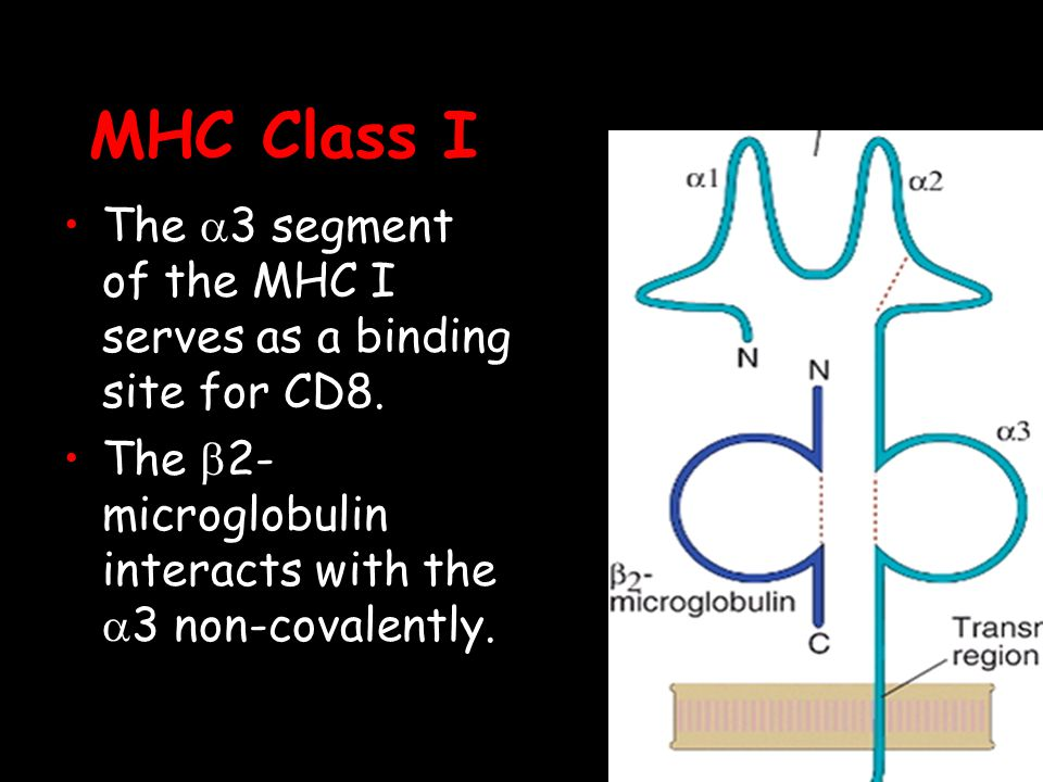 MHC Class I The a3 segment of the MHC I serves as a binding site for CD8.