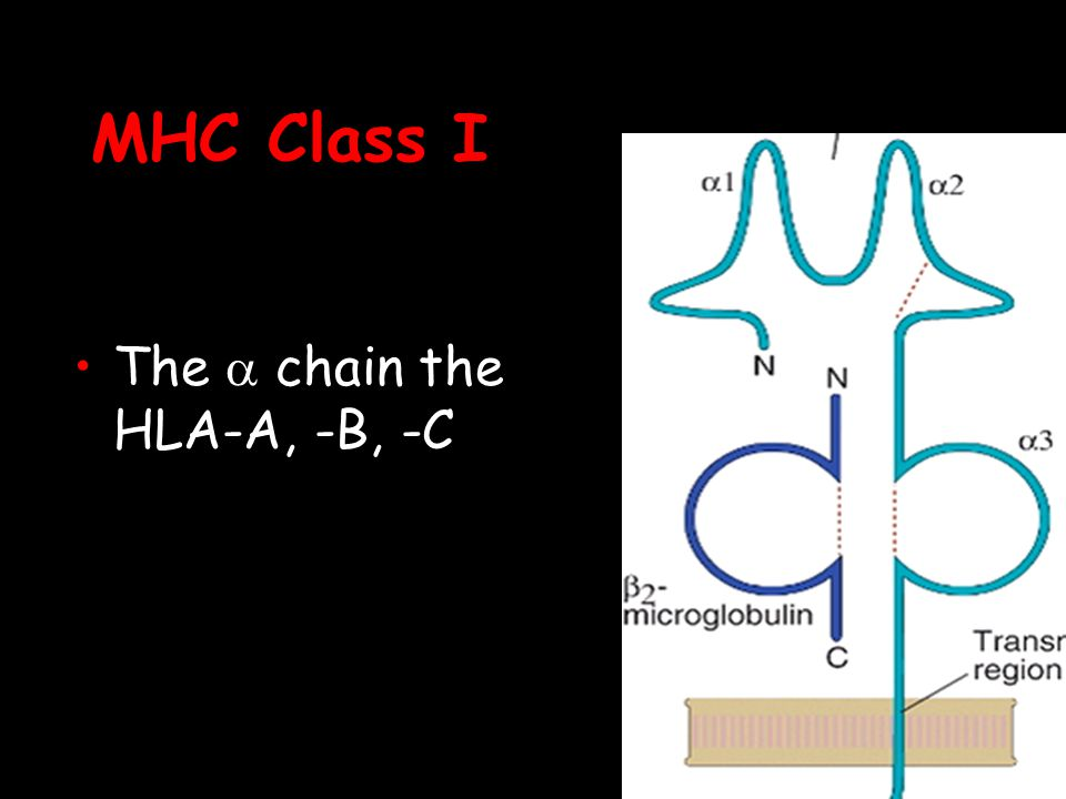 MHC Class I The a chain the HLA-A, -B, -C