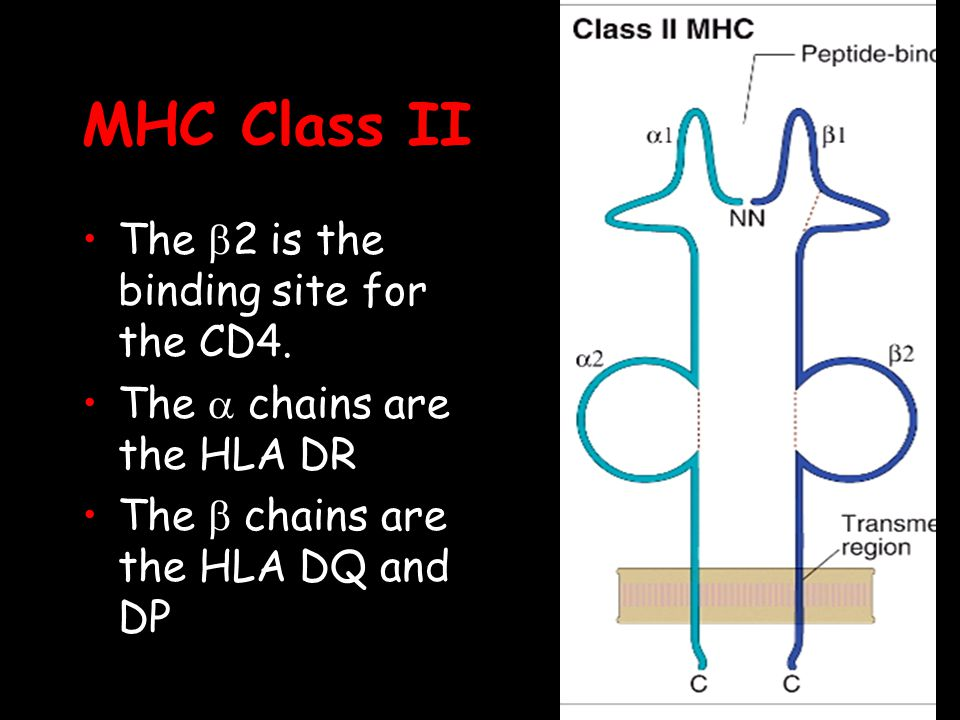 MHC Class II The b2 is the binding site for the CD4.