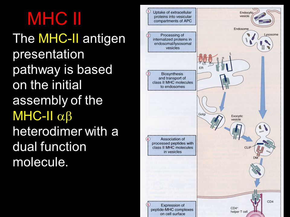 MHC II The MHC-II antigen presentation pathway is based on the initial assembly of the MHC-II ab heterodimer with a dual function molecule.