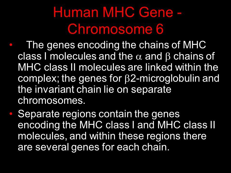 Human MHC Gene - Chromosome 6