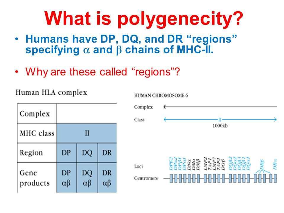 What is polygenecity. Humans have DP, DQ, and DR regions specifying  and  chains of MHC-II.