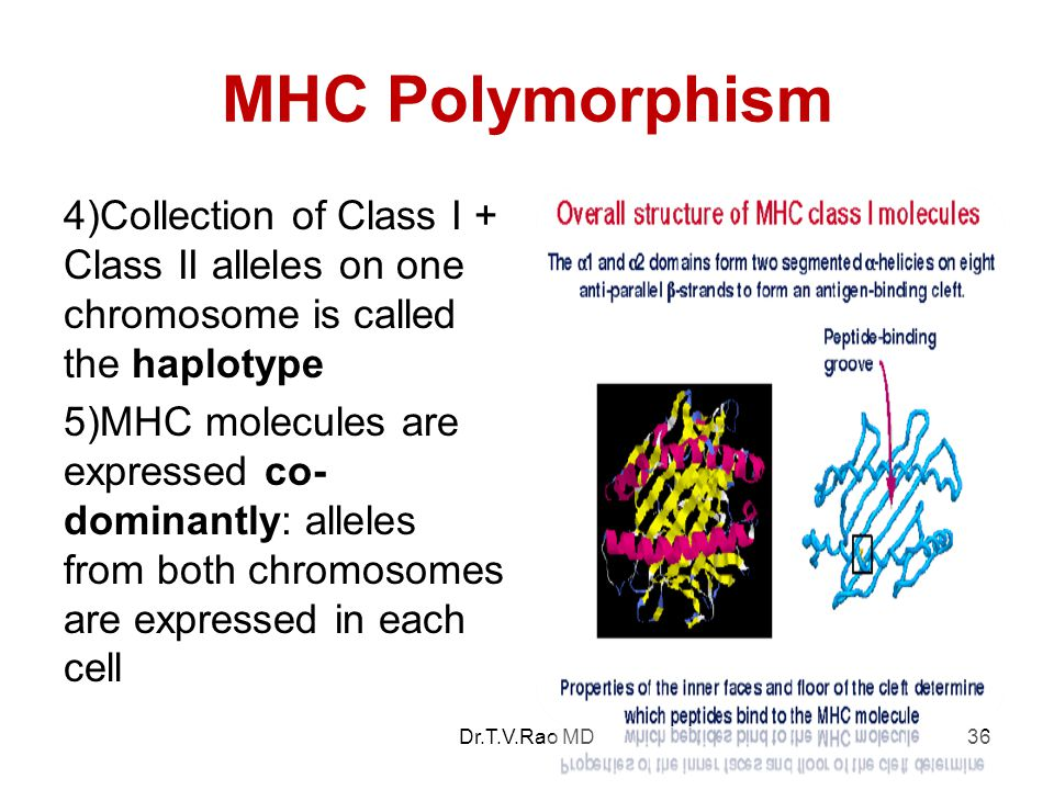 MHC Polymorphism 4)Collection of Class I + Class II alleles on one chromosome is called the haplotype.