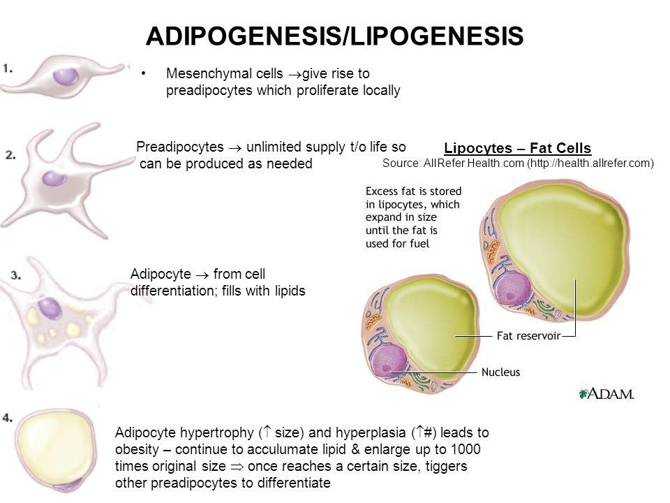 ADIPOGENESIS/LIPOGENESIS