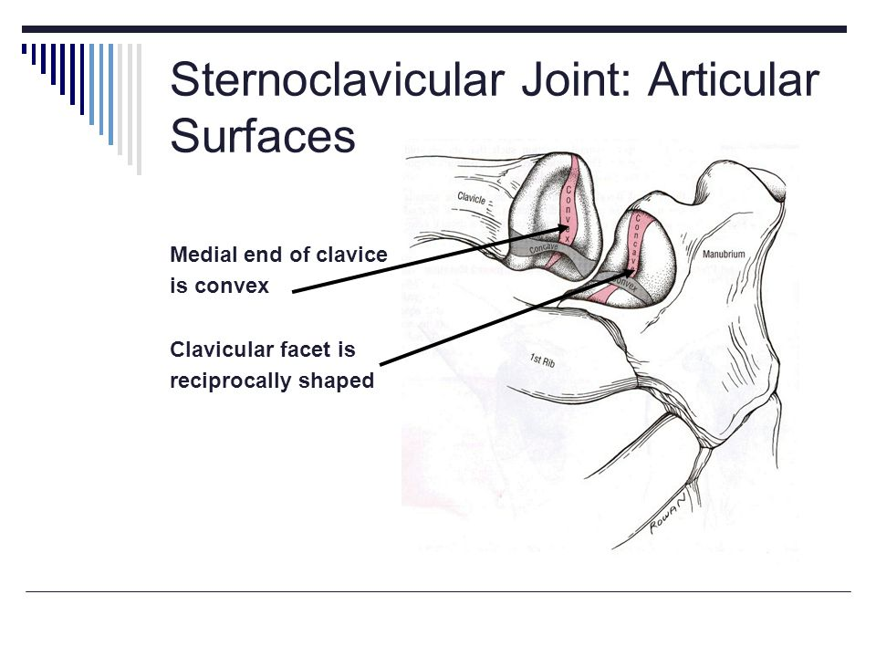 Sternoclavicular Joint: Articular Surfaces