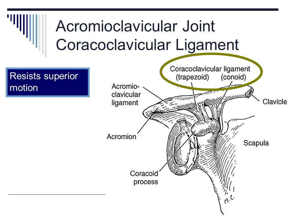 Acromioclavicular Joint Coracoclavicular Ligament