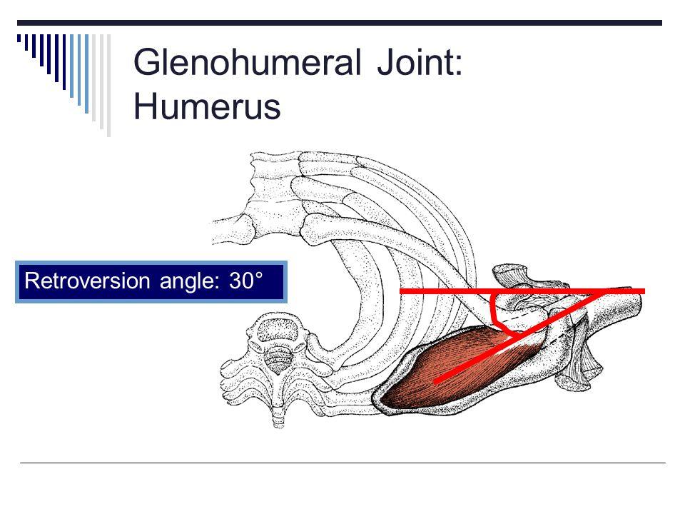 Glenohumeral Joint: Humerus