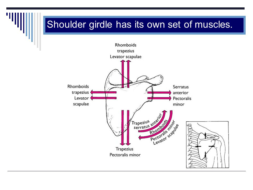 Shoulder girdle has its own set of muscles.