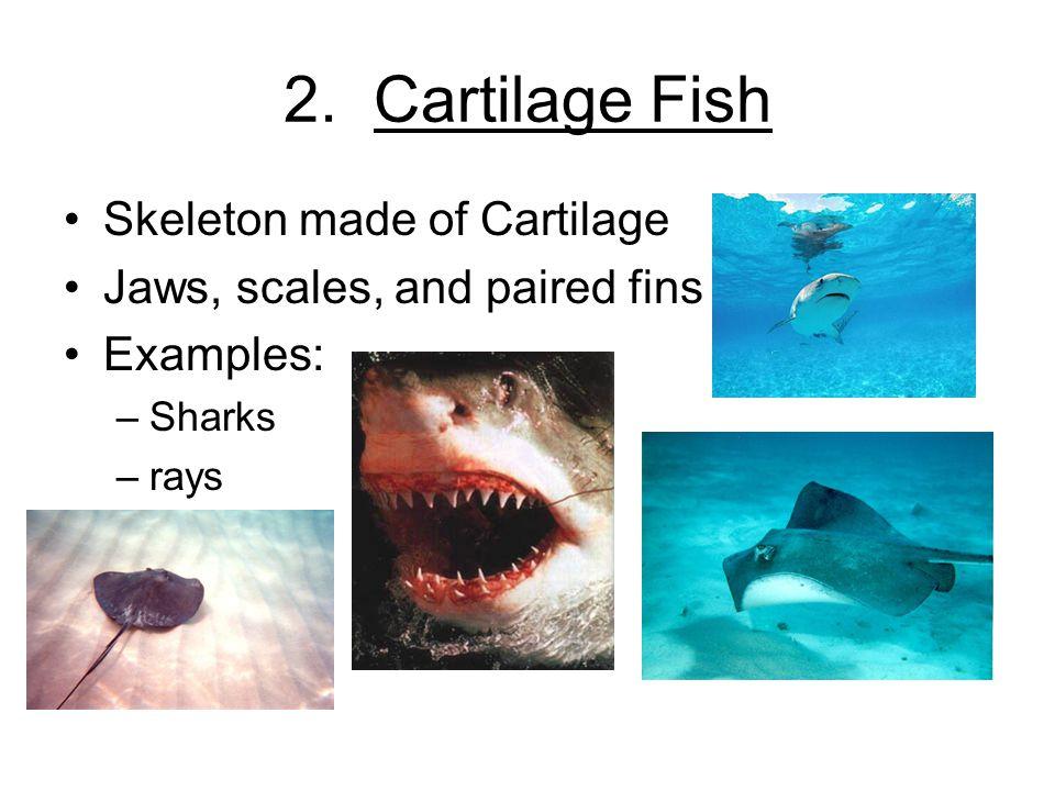2. Cartilage Fish Skeleton made of Cartilage