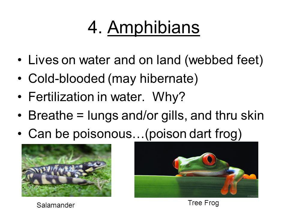4. Amphibians Lives on water and on land (webbed feet)