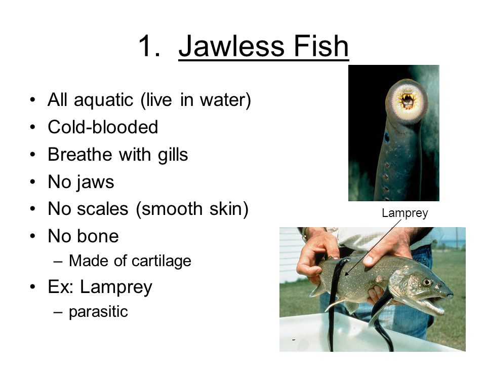 1. Jawless Fish All aquatic (live in water) Cold-blooded