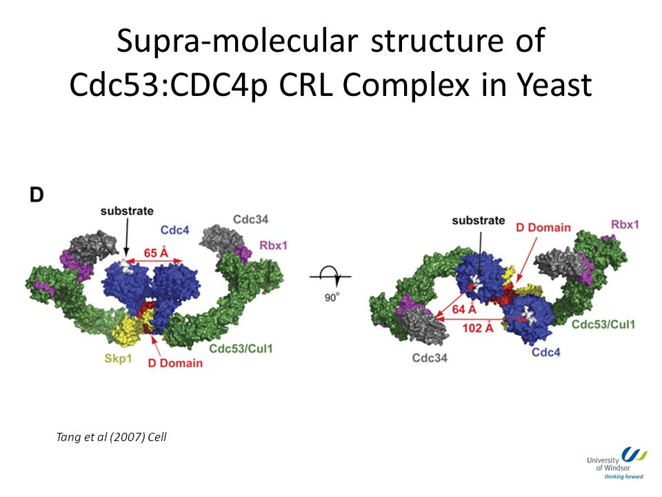 Supra-molecular structure of Cdc53:CDC4p CRL Complex in Yeast