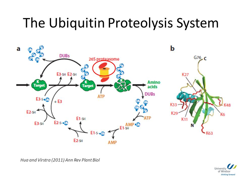 The Ubiquitin Proteolysis System