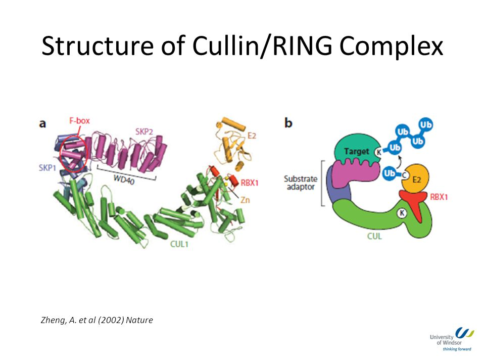 Structure of Cullin/RING Complex