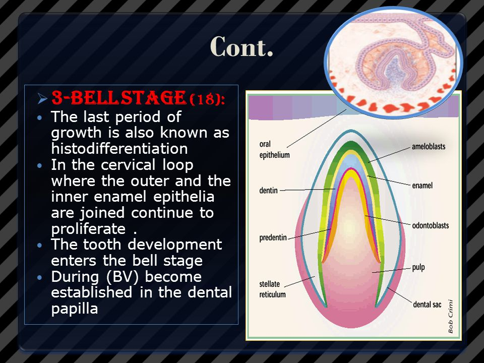 Cont. 3-bell stage (18): The last period of growth is also known as histodifferentiation.