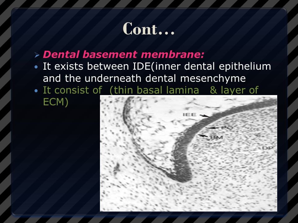Cont… Dental basement membrane: