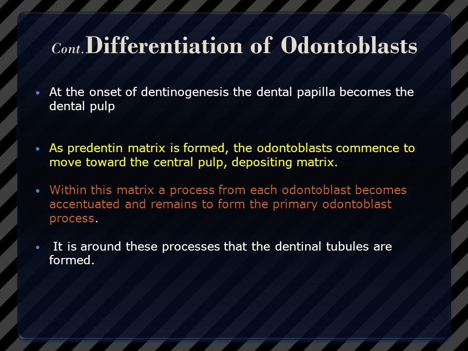 Cont.Differentiation of Odontoblasts