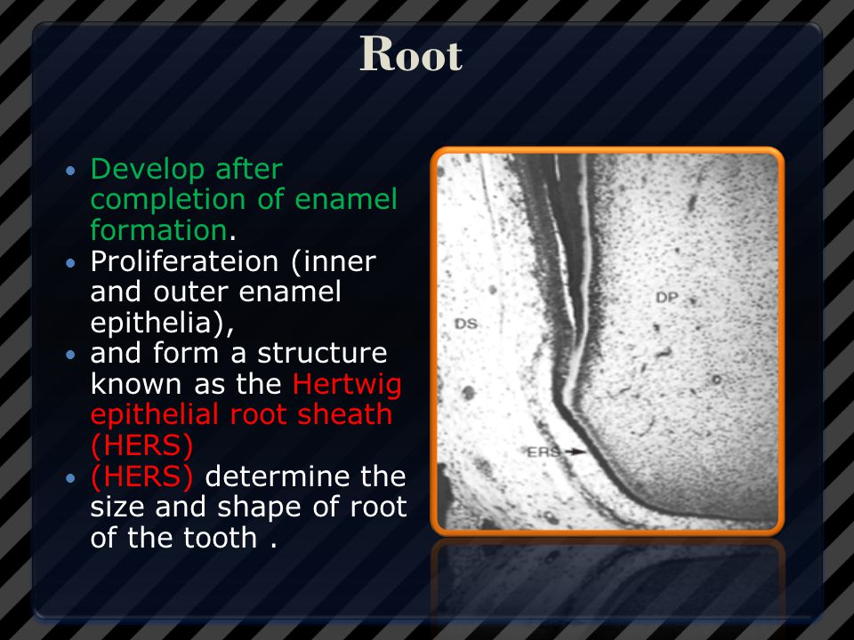 Root Develop after completion of enamel formation.