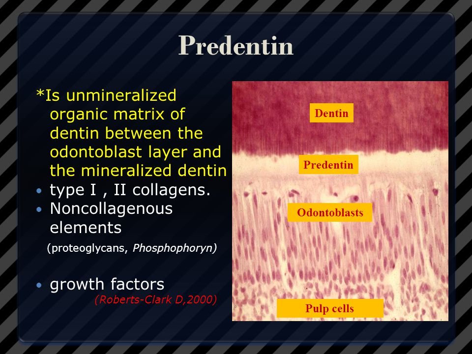 Predentin *Is unmineralized organic matrix of dentin between the odontoblast layer and the mineralized dentin.