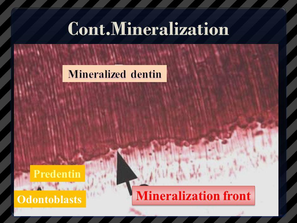 Cont.Mineralization Mineralization front Mineralized dentin Predentin