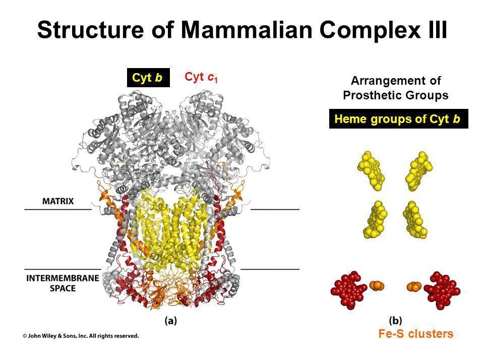 Structure of Mammalian Complex III