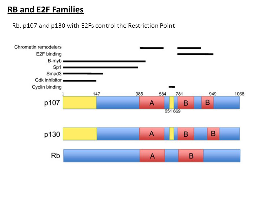 RB and E2F Families Rb, p107 and p130 with E2Fs control the Restriction Point