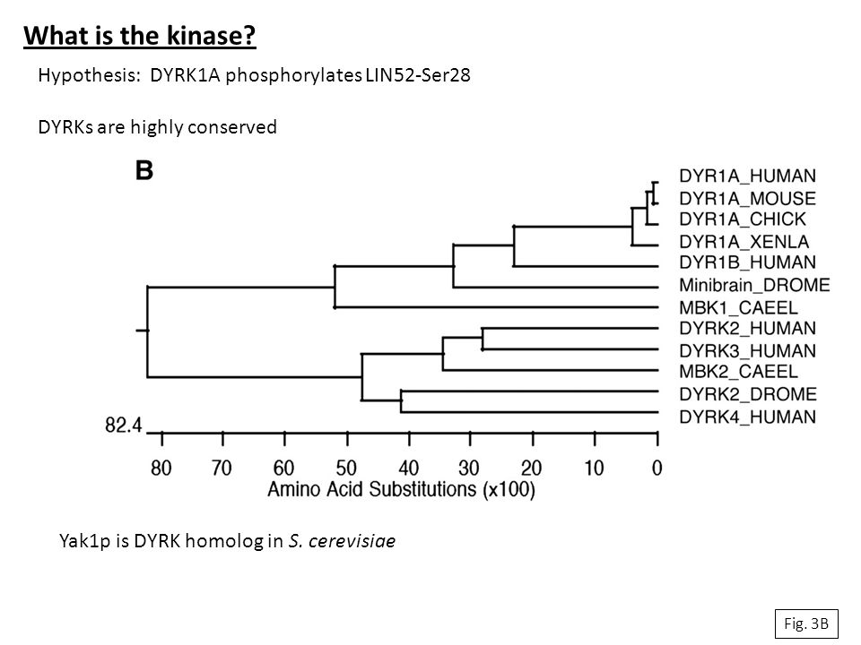 What is the kinase Hypothesis: DYRK1A phosphorylates LIN52-Ser28