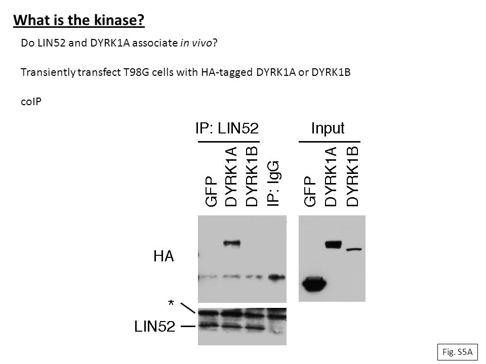 What is the kinase Do LIN52 and DYRK1A associate in vivo