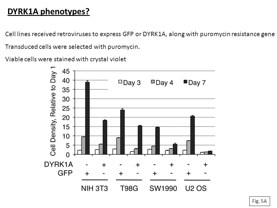 DYRK1A phenotypes Cell lines received retroviruses to express GFP or DYRK1A, along with puromycin resistance gene.