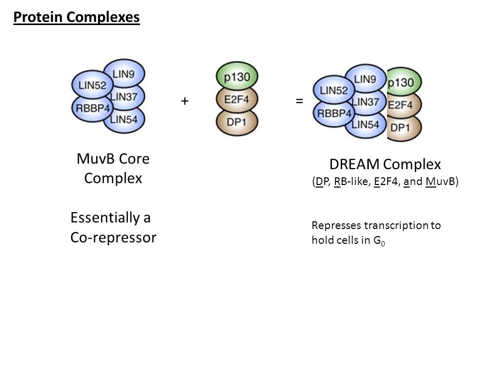 (DP, RB-like, E2F4, and MuvB)